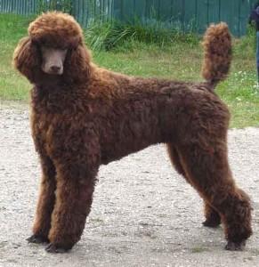 rubio the poodle
