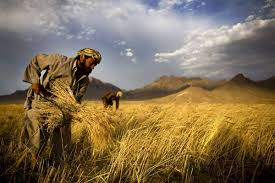 Afghan wheat fields